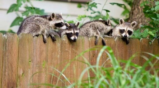 Tips to Keep Raccoons Away